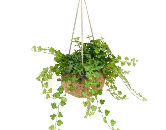 Hedera hangplant